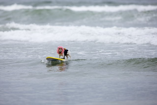 """Dog surfing is pretty much what it sounds like. There are four heats. The first is for dogs less than 40 pounds. The second is for larger dogs. Then there's a tandem competition, where dogs surf with their human companions. The final heat brings the winners of those three rounds together to determine the """"Ultimate Champion"""". (Photo by Sol Neelman)"""