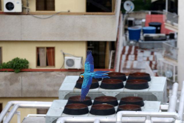 A macaw flies over buildings in Caracas, Venezuela, June 6, 2019. (Photo by Manaure Quintero/Reuters)