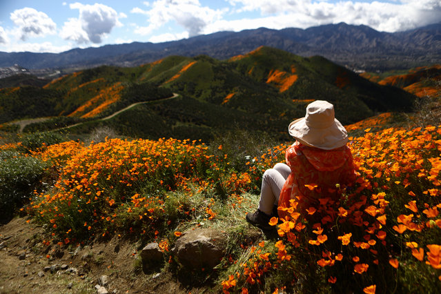 "A woman takes in the view of a ""super bloom"" of wild poppies blanketing the hills of Walker Canyon on March 12, 2019 near Lake Elsinore, California. Heavier than normal winter rains in California have caused a 'super bloom' of wildflowers in various locales of the state. (Photo by Mario Tama/Getty Images)"