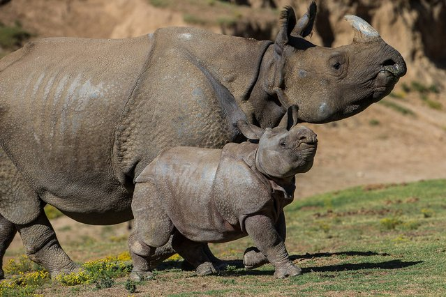 A nine-week old greater one-horned rhino calf and his mother were released into the Asian Plains exhibit this morning at the San Diego Zoo Safari Park. Thursday May 1, 2014 was the first time the male calf, born on February 25, had experienced such diverse terrain, having spent his first few weeks in a smaller maternity yard, and he was eager to explore the 40-acre habitat. The calf is named Parvesh, which means lord of celebration in the Hindi language. He may be young, but he is hefty and is already approaching 300 pounds. (Photo by Ken Bohn/AP Photo/San Diego Zoo Safari Park)