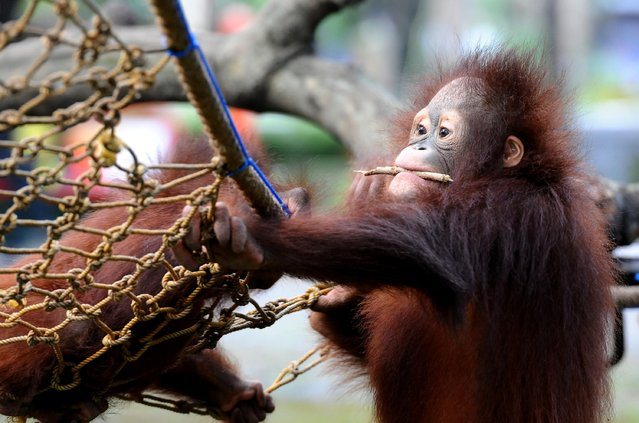 Damai and Rizki, orphaned Bornean orang utan play courtyard at Surabaya Zoo as they prepare to be released into the wild on May 19, 2014 in Surabaya, Indonesia. The two baby orangutans, brothers, were found in Kutai National Park in a critical condition having been abandoned by their mother on May 14, 2014. (Photo by Robertus Pudyanto/Getty Images)