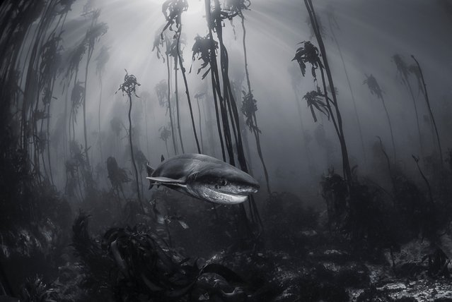 Mystical Forest. Tracey Jennings photographed this seven-gill shark in a kelp forest just off the shore of Simon's Town near Cape Town, South Africa. You don't need to travel far from cities to visit Narnia. This 7 gill shark was photographed in a kelp forest just off the shore of Simonstown near Cape Town, South Africa. (Photo by Tracey Jennings/National Geographic Travel Photographer of the Year Contest)