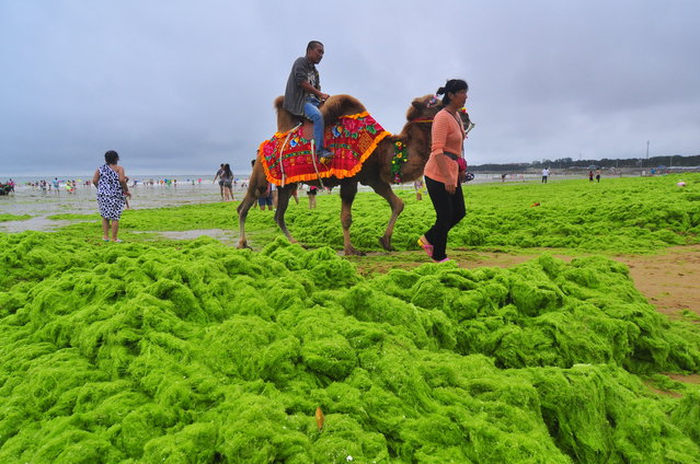 A man rides a camel at a beach covered by a thick layer of green algae on July 20, 2015 in Qingdao, China. A large quantity of non-poisonous green seaweed, enteromorpha prolifera, hit the Qingdao coast in June and July this year. (Photo by ChinaFotoPress/ChinaFotoPress via Getty Images)