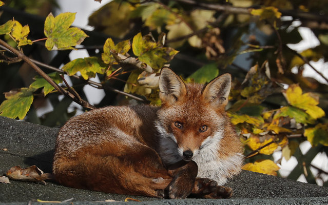 A fox sits in the sun on a shed roof in a garden in London, Wednesday, November 6, 2019. (Photo by Frank Augstein/AP Photo)
