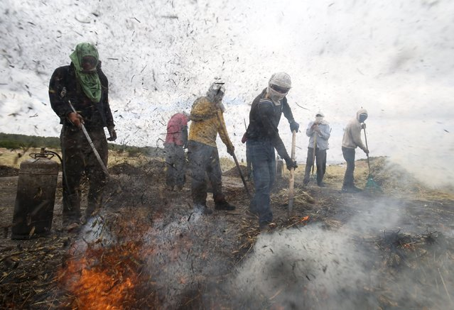 Palestinian workers rake wheat after burning it as part of the process to make frike, in the West Bank city of Jenin May 10, 2015. (Photo by Mohamad Torokman/Reuters)