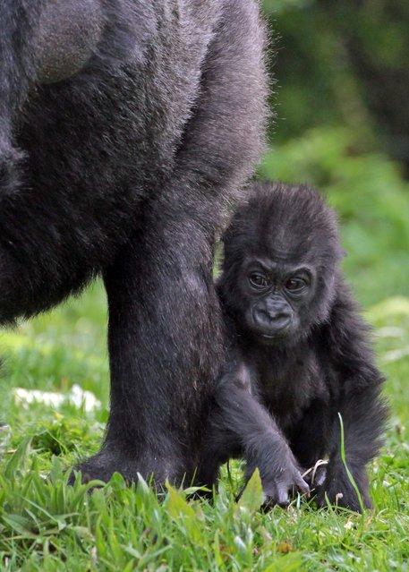 Bristol Zoo's baby gorilla Kukena