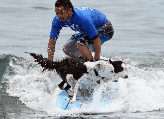 Roa (front L) and Vivi (front R) and owner Daisuke Nonaka ride on a wave during the animal surfing portion of the Mabo Royal Kj Cup surfing contest at Tsujido beach in Fujisawa, Kanagawa prefecture on July 6, 2014. (Photo by Toshifumi Kitamura/AFP Photo)
