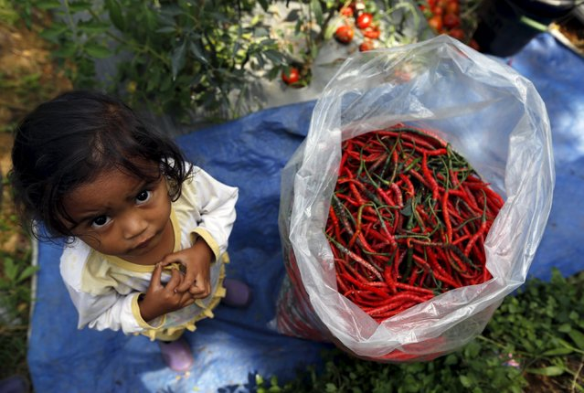 A child stands near a bag of harvested chillies at chilli plantation in Pasir Datar Indah village near Sukabumi, Indonesia's West Java province, August 6, 2015. (Photo by Reuters/Beawiharta)