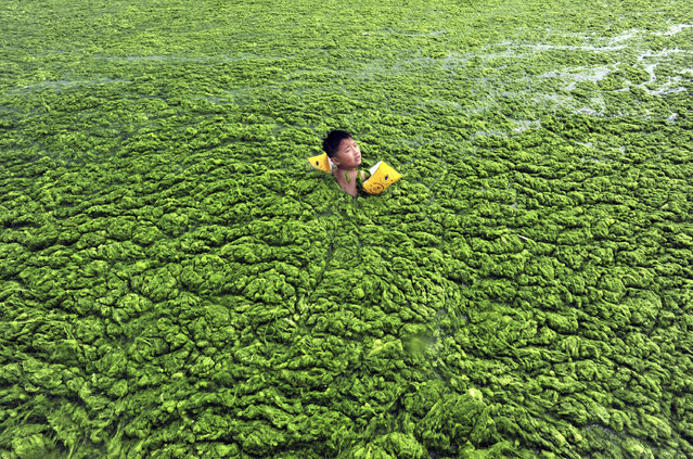 A boy swims in the algae-filled coastline of Qingdao, Shandong province July 15, 2011. (Photo by Reuters/China Daily)