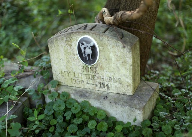 """A dog's headstone for """"Jose"""" is seen in an overgrown section of the Aspin Hill Memorial Park in Aspen Hill, Maryland July 22, 2015. (Photo by Gary Cameron/Reuters)"""