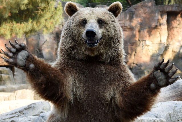 A brown bear waits for food at the zoo in Madrid, Spain on July 30, 2016. (Photo by Jorge Sanz/Pacific Press/SIPA Press/Rex Features/Shutterstock)