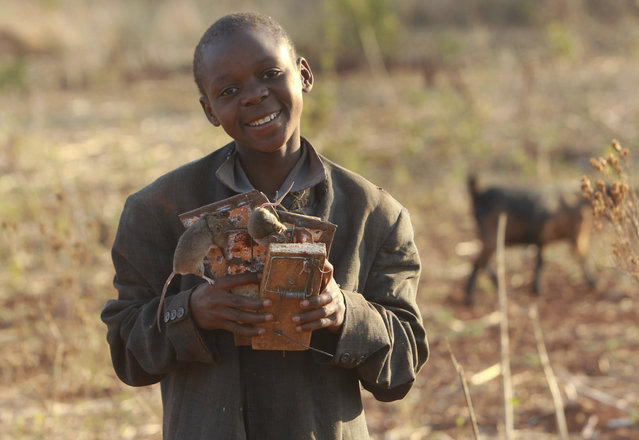 In this photo taken Saturday, September 23, 2017, Patson Moga is photographed with his overnight catch of mice in traps after being caught in a cornfield in Chidza, Masvingo Province, Zimbabwe. (Photo by Tsvangirayi Mukwazhi/AP Photo)