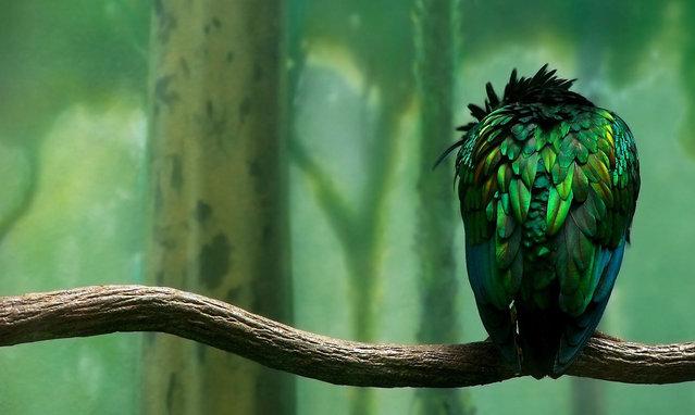 Beautiful Nicobar Pigeon
