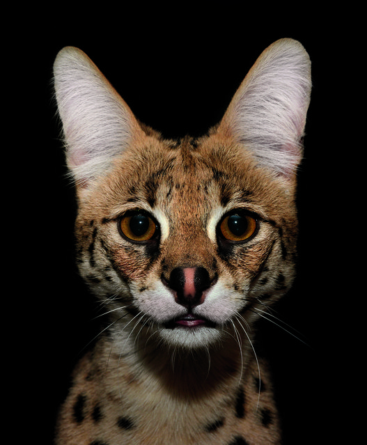 The elegant serval cat was worshipped by the ancient Egyptians for its grace and strength. Although it's barely twice the size of an average housecat, the serval is the most efficient hunter of all wildcats, with successful kills approximately half of the time. The serval's large ears give it an acute sense of hearing, and it has the longest legs of any cat relative to body size. (Photo by Traer Scott/Chronicle Books)
