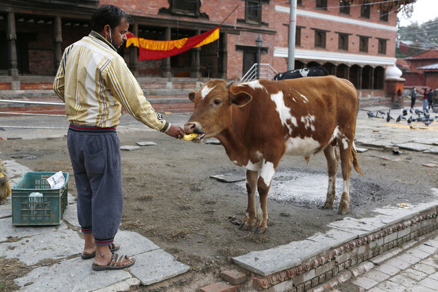 In this Tuesday, March 31, 2020, photo, a Nepalese volunteer feeds an ox at Pashupatinath temple, the country's most revered Hindu temple, during the lockdown in Kathmandu, Nepal. (Photo by Niranjan Shrestha/AP Photo)
