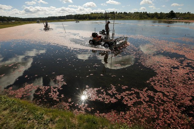 Workers harvest cranberries in a bog at Gilmore Cranberry Company in Carver, Massachusetts September 14, 2015, the beginning of the cranberry harvesting season. (Photo by Brian Snyder/Reuters)