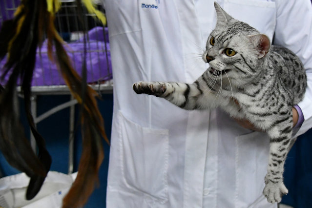 """A judge carries an Egyptian cat named Born to be Love during the """"SuperCat Show 2017"""" on November 11, 2017 in Rome, Italy. (Photo by Alberto Pizzoli/AFP Photo)"""