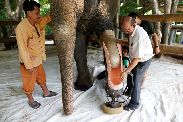Motola, the elephant that was injured by a landmine, has her prosthetic leg attached at the Friends of the Asian Elephant Foundation in Lampang, Thailand, June 29, 2016. (Photo by Athit Perawongmetha/Reuters)