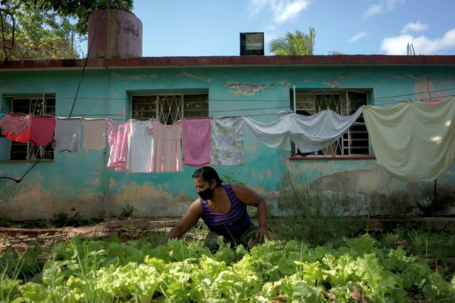 Virginia Galan works on her lettuce garden in the backyard of her home amid concerns about the spread of the coronavirus disease (COVID-19) in Havana, Cuba, June 26, 2020. (Photo by Alexandre Meneghini/Reuters)
