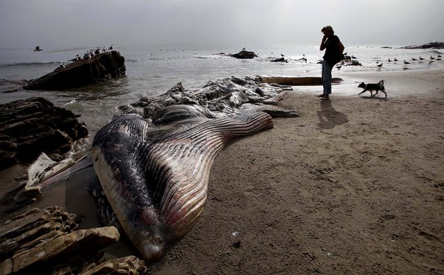 A woman walks her dog past a dead young male fin whale that washed up Monday between the Paradise Cove and Point Dume areas of Malibu, California,  December 6, 2012. The rotting carcass near celebrity homes is causing a gigantic cleanup problem as authorities try to decide who's responsible for getting rid of it. (Photo by Nick Ut/Associated Press)