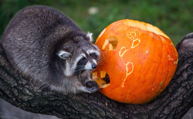 A raccoon inspects a carved pumpkin filled with food in its enclosure at the zoo in Hanover, central Germany, on October 23, 2014, some days before Halloween. (Photo by Ole Spata/AFP Photo/DPA)