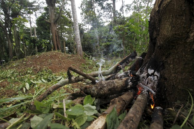 A fire set by a farmer burns the roots of a tree to kill it inside the protected Gouin-Debe forest in Blolequin department, western Ivory Coast August 17, 2015. (Photo by Luc Gnago/Reuters)