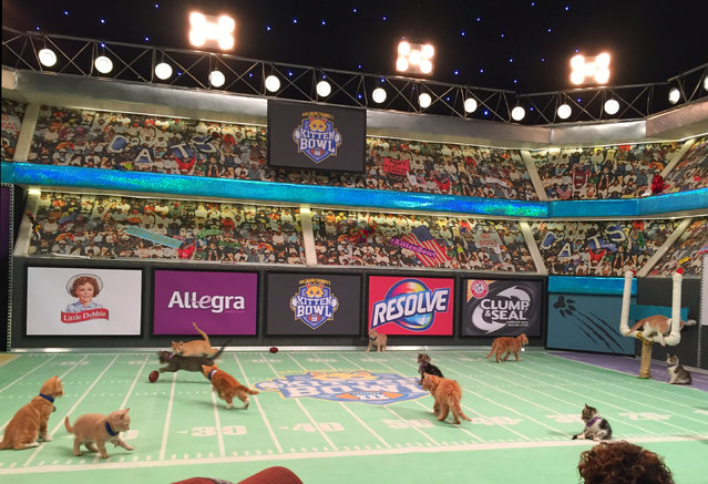 "Kittens play on a mini football field during the taping of ""Kitten Bowl III,"" on Wednesday, October 21, 2015, in New York. The program will be broadcast on The Hallmark Channel on Super Bowl Sunday, Feb. 7, 2016. (Photo by Leanne Italie/AP Photo)"
