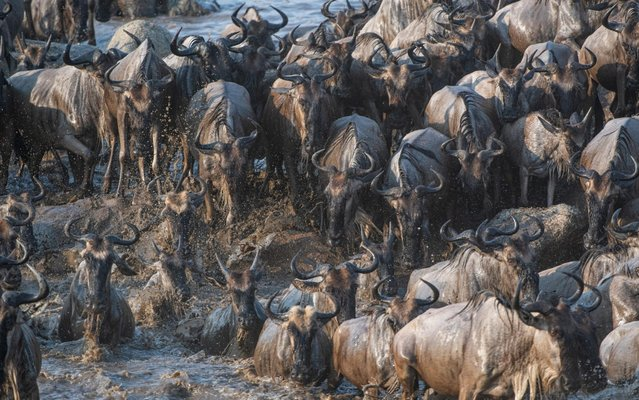 Hundreds of wildebeest make their annual crossing across the Mara River in Northern Tanzania on September 21, 2020. (Photo by Nina Waffenschmidt/Solent News)