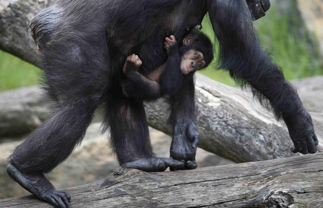 A baby chimpanzee named Liwali hangs onto his mother Lisa as they arrive in their enclosure for a Christmas-themed feeding time at Sydney's Taronga Park Zoo, December 9, 2014. Liwali is one of the latest additions to the zoo's successful primate breeding program. (Photo by Jason Reed/Reuters)