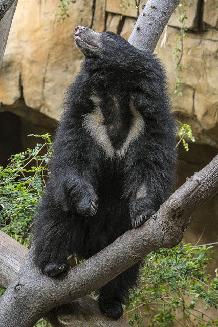 In this photo released by the San Diego Zoo, a 2-year-old male sloth bear named Sahaasa climbs to the top of a felled log in his new exhibit at the San Diego Zoo, Thursday, December 11, 2014, in San Diego, Calif. The bear and his sister, Kayla, moved to their new exhibit Thursday morning after completing quarantine at the Zoo's animal hospital. (Photo by Ben Bohn/AP Photo/San Diego Zoo)