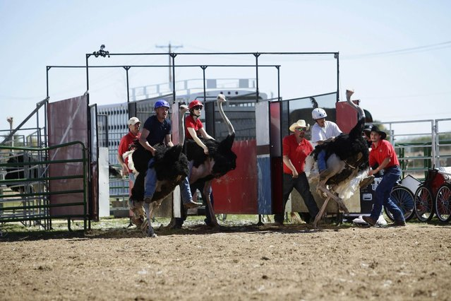 Riders and their ostriches leave the gate during an ostrich race at the annual Ostrich Festival in Chandler, Arizona March 10, 2013. (Photo by Joshua Lott/Reuters)