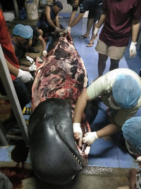 A handout photo made available by ThaiWhales.org on 03 June 2018 shows the total 80 pieces of plastic bags were found in a stomach of Short-Finned Pilot Whale after an autopsy in Songkhla province, southern Thailand, 01 June 2018. The short-finned pilot whale reportedly died after swallowing 80 plastic bags weighing eight kilograms that were found in its stomach after an autopsy. (Photo by Reuters/Thaiwhales)