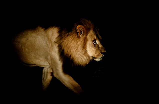 """From the Darkness"". Nothing seems more powerful or stunning than a lion emerging from the darkness. This lion barely acknowledged our presence, but we held our breath as he strode quietly through the light of our torch. Location: Moremi Game Reserve, Okavango Delta, Botswana. (Photo and caption by Amanda Stronza/National Geographic Traveler Photo Contest)"