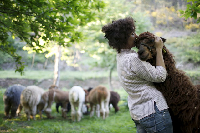 Lisa Vella-Gatt, 46, hugs an alpaca in her farm near Benfeita, Portugal May 11, 2015. Lisa came to Portugal from England in 2009 to set up Monte Frio Alpacas, a project where she breeds alpacas, which produce wool. Lisa's 14 alpacas produce about 50 kilos (110 pounds) of wool annually. (Photo by Rafael Marchante/Reuters)