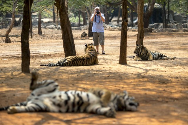 A tourist takes pictures of tigers at the Wat Pa Luang Ta Bua, otherwise known as the Tiger Temple, in Kanchanaburi province February 12, 2015. (Photo by Athit Perawongmetha/Reuters)