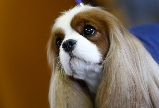 Money Penny, a King Charles Cavalier Spaniel, waits in the benching area before judging on day one of competition at the139th Westminster Kennel Club's Dog Show in the Manhattan borough of New York February 16, 2015. (Photo by Mike Segar/Reuters)