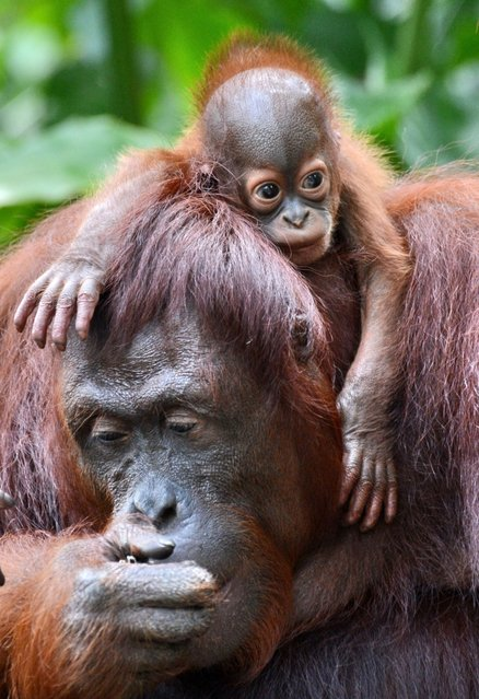 A female Bornean orangutan named Dam is seen with her newborn son Veera at the Singapore Zoo on March 6, 2013. Veera was born on January 21 at the Zoo – the 40th orangutan birth to date – which has the largest social colony of endangerd Sumatran and Bornean sub-species orangutans. (Photo by Roslan Rahman/AFP Photo)