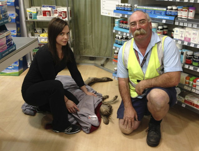 Wildlife Victoria volunteer Ella Rountree (L) and Geoffrey Fuller pose with a rescued kangaroo named Cyrus in a shop at Melbourne airport in this October 16, 2013 handout picture. Australian police were forced to lock down part of Melbourne Airport on Wednesday morning after a kangaroo hopped through a terminal and into a pharmacy drug store. (Photo by Wildlife Victoria/Reuters)