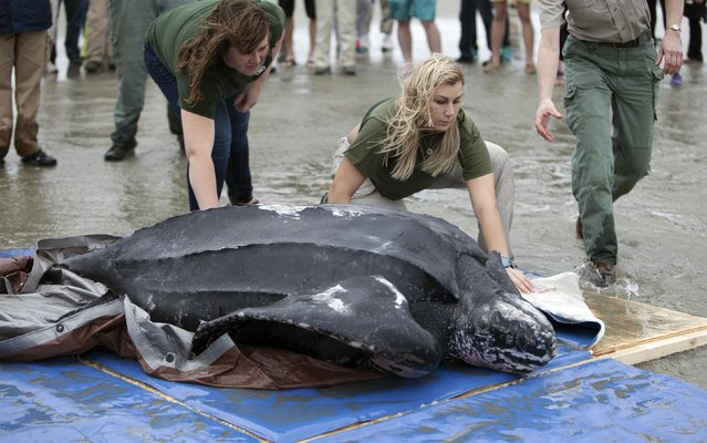 Biologists Jenna Cormany (L) and Lauryn Wright of the South Carolina Department of Natural Resources help to release a leatherback turtle in Isle of Palms, South Carolina March 12, 2015. (Photo by Randall Hill/Reuters)