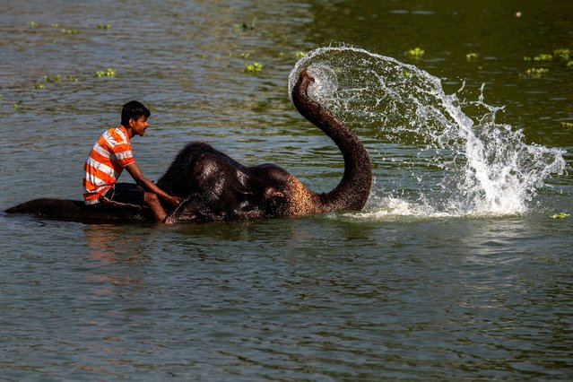 An Indian mahout bathes an elephant in a pond on the outskirts of Gauhati, India, Friday, May 28, 2021. (Photo by Anupam Nath/AP Photo)