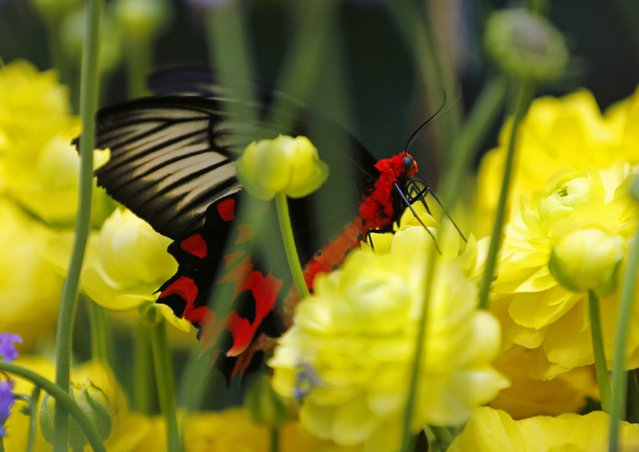A Bat Wing butterfly lands on a flower as it and hundreds of other butterflies from around the world fill the bird aviary for the next month at the San Diego Zoo Safari Park in San Diego, California March 13, 2015. (Photo by Mike Blake/Reuters)