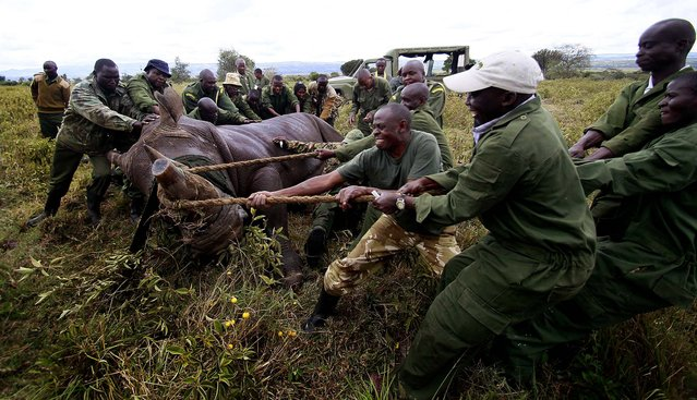 Kenya Wildlife Service wardens prepare to load a tranquillized male white rhinoceros into a cage for translocation at the Lake Nakuru National park in Kenya's Rift Valley, on November 8, 2013. After implanting radio transmitters into the horns to track the animals, and notching their ears, KWS is translocating 13 white rhinos to the Ruma National park, situated in Lambwe Valley in South Nyanza, to re-establish their population. (Photo by Thomas Mukoya/Reuters)