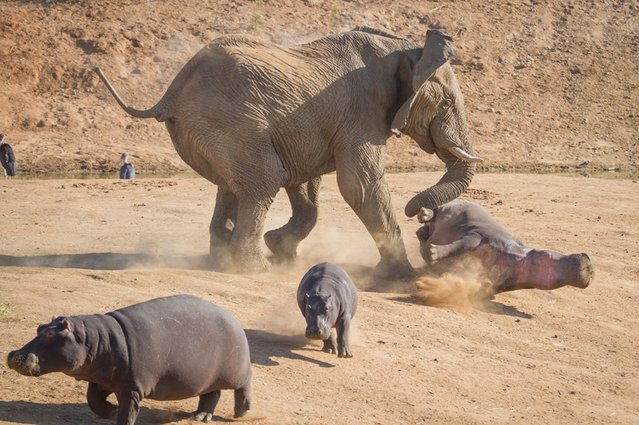 An elephant bull charges a female hippopotamus as her calf scampers to safety, in Erindi Private Game Reserve in Windhoek, Namibia. (Photo by Rian van Schalkwyk/Barcroft Media)