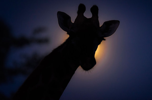 A giraffe steps in front of the moon. (Photo by Brendon Cremer/Caters News)