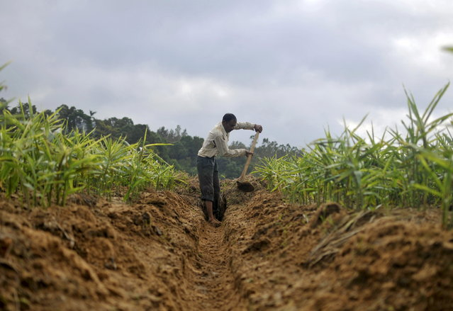 A farmer cultivating ginger uses a hoe to dig a ditch in his field in Nagarally village in Karnataka, July 7, 2015. (Photo by Abhishek N. Chinnappa/Reuters)