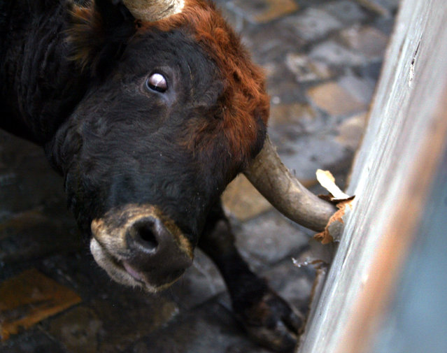A fighting bull attacks a wooden barrier as it charges through central Pamplona during the fifth bull run of the San Fermin festival, July 2002. (Photo by Desmond Boylan/Reuters)
