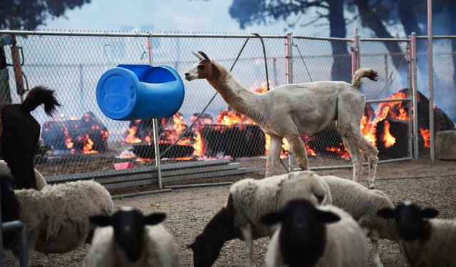 Animals remain in their pen as  fires continues to burn from the South Fire which burned through Lytle Creek, California near Cajon Pass on August 25, 2021 damaging at least six homes and threatening a hundred. (Photo by Frederic J. Brown/AFP Photo)
