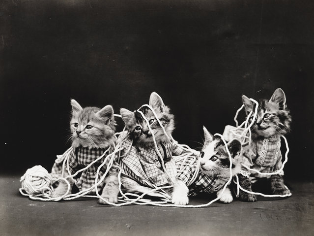 Photograph shows four kittens wearing clothes playing with a ball of twine, 1914. (Photo by Harry Whittier Frees/Library of Congress)