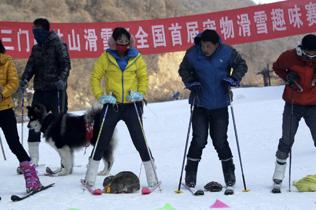This picture taken on January 12, 2014 shows pets and their owners waiting at the starting line in a skiing competition in Sanmenxia, north China's Henan province. (Photo by AFP Photo)