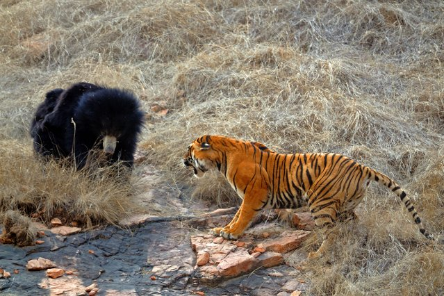 Bear Vs Tiger